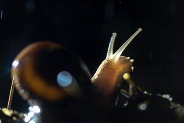 L'escargot translucide