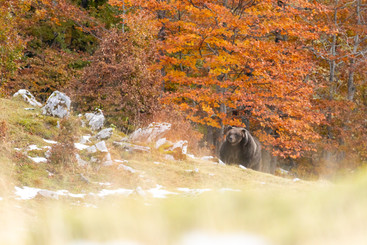 Ours d'automne