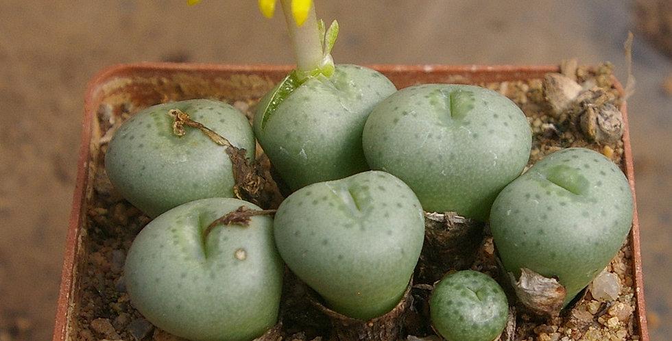 Conophytum  flavum ssp. novicium