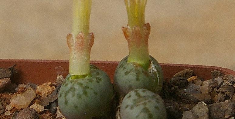 Conophytum uviforme subsp. decoratum