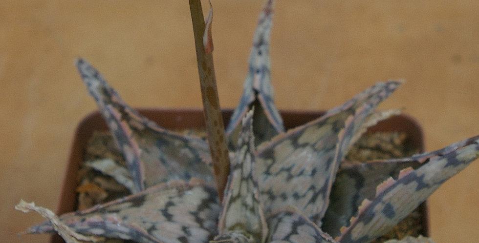 Aloe hybrid (Wunderkind sibling)