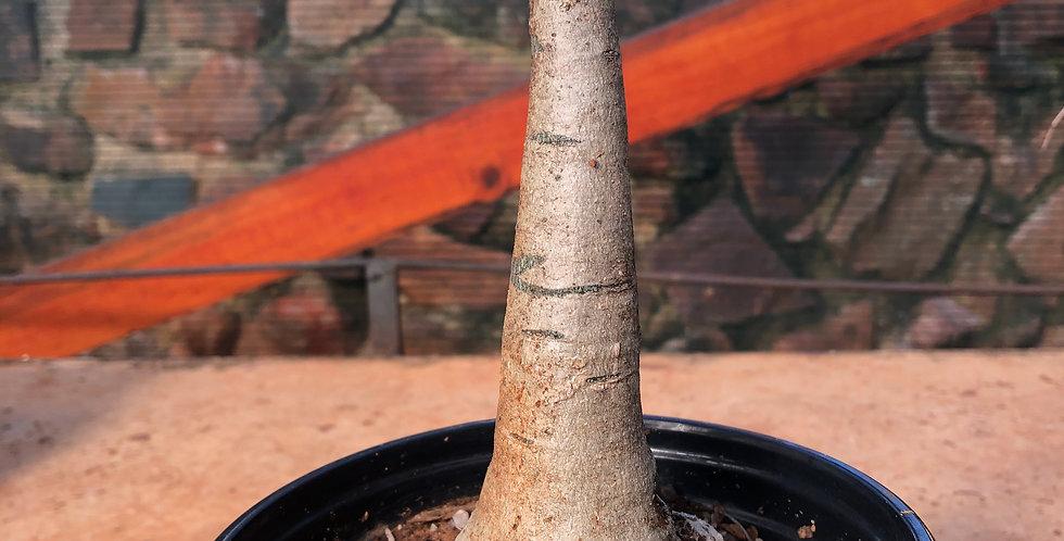 Adenia glauca