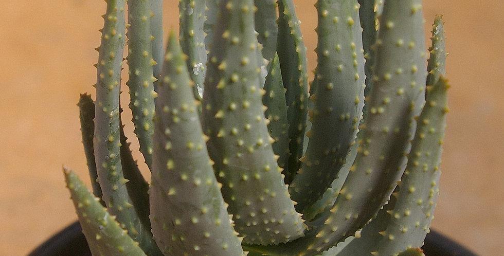 Aloe (Aloidendron) dichotoma