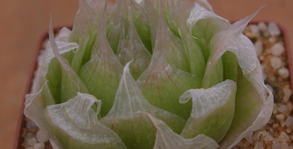 Haworthia lockwoodii