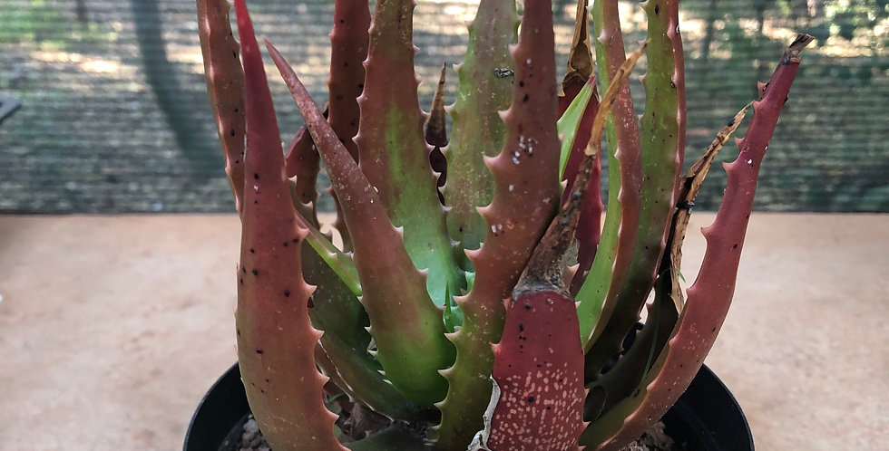 Aloe bussei