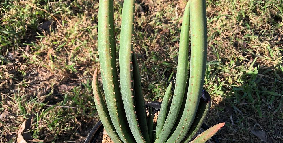 Aloe wickensii var lutea