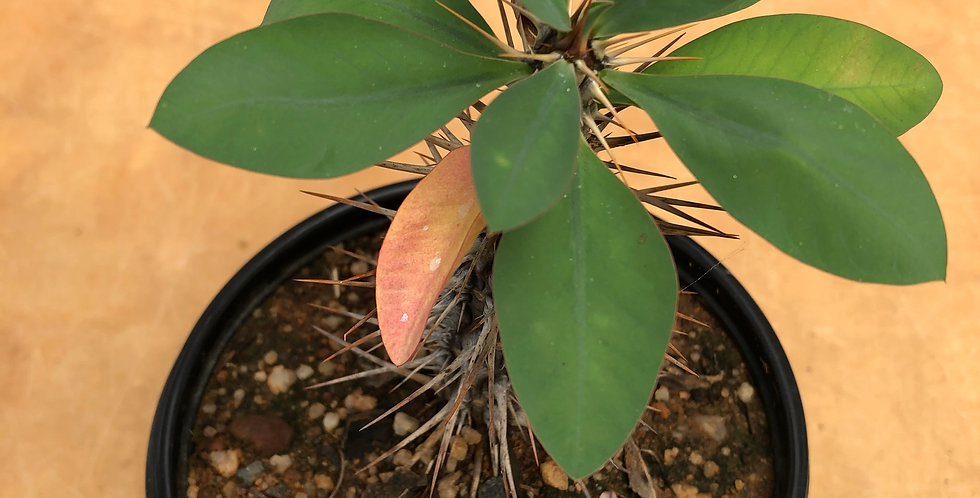 Euphorbia fianarantoae