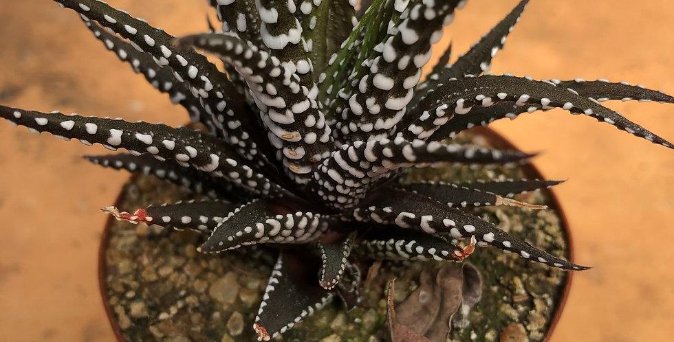 """Haworthiopsis attenuata """"Big band"""""""