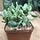 """Thumbnail: Crassula arborescens spp. undulatifolia """"Curly"""""""