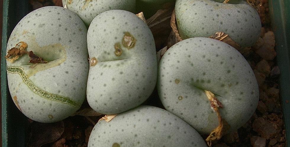 Conophytum wettsteinii fragile