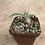 Thumbnail: Pachypodium namaquanum
