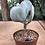 Thumbnail: Crassula arborescens var. arborescens