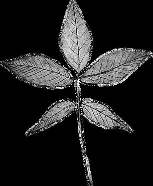 hickory leaf .png