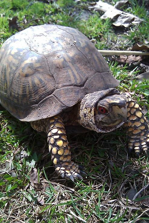 Eastern Box Turtle (2).jpg