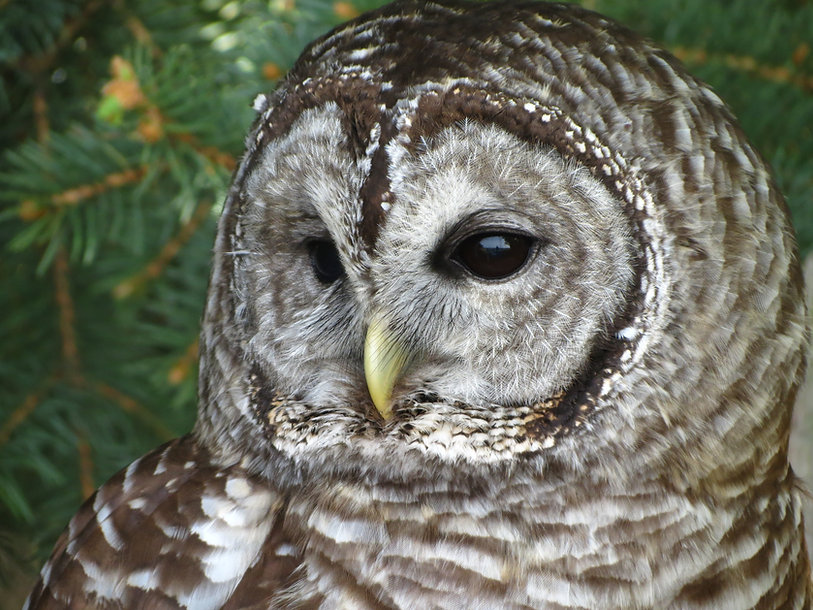 Barred owl (31).JPG