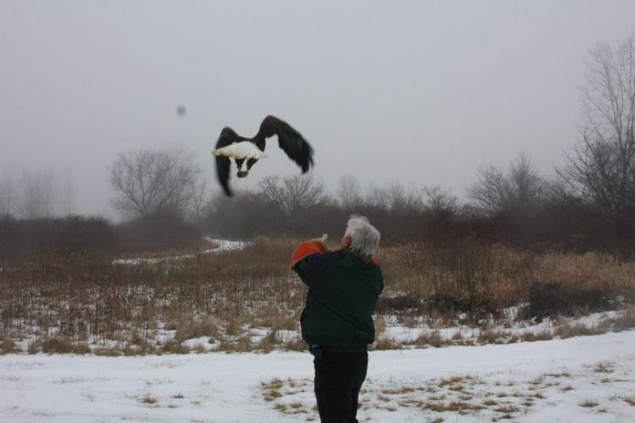 Bald eagle relase