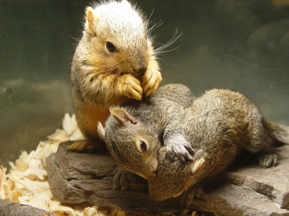 Fox and gray squirrels