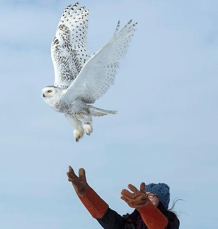Snowy owl release
