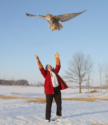 Great horned owl release