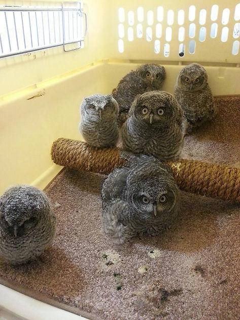 screech owls a.jpg