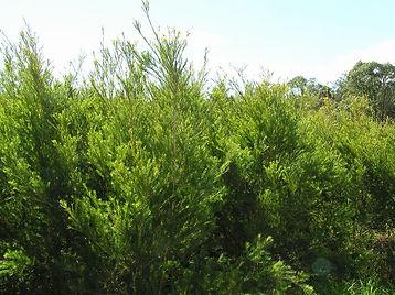 ティーツリー有機栽培