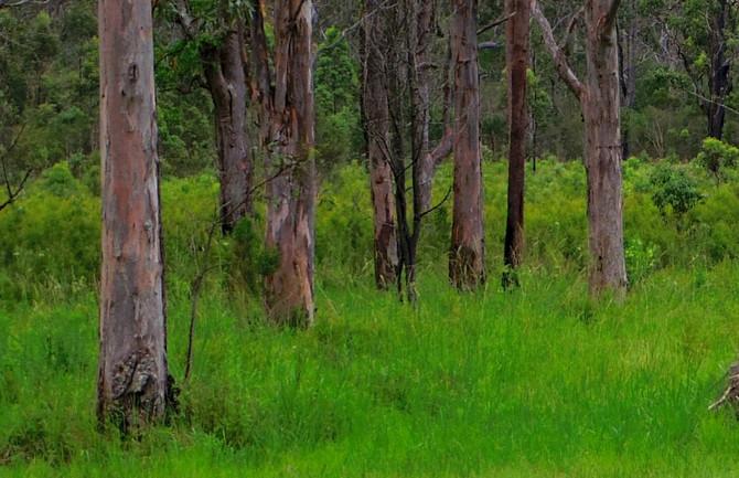 ティーツリーの原産地の野生ティーツリーオイル