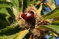 chestnut-3733522_1280.jpg