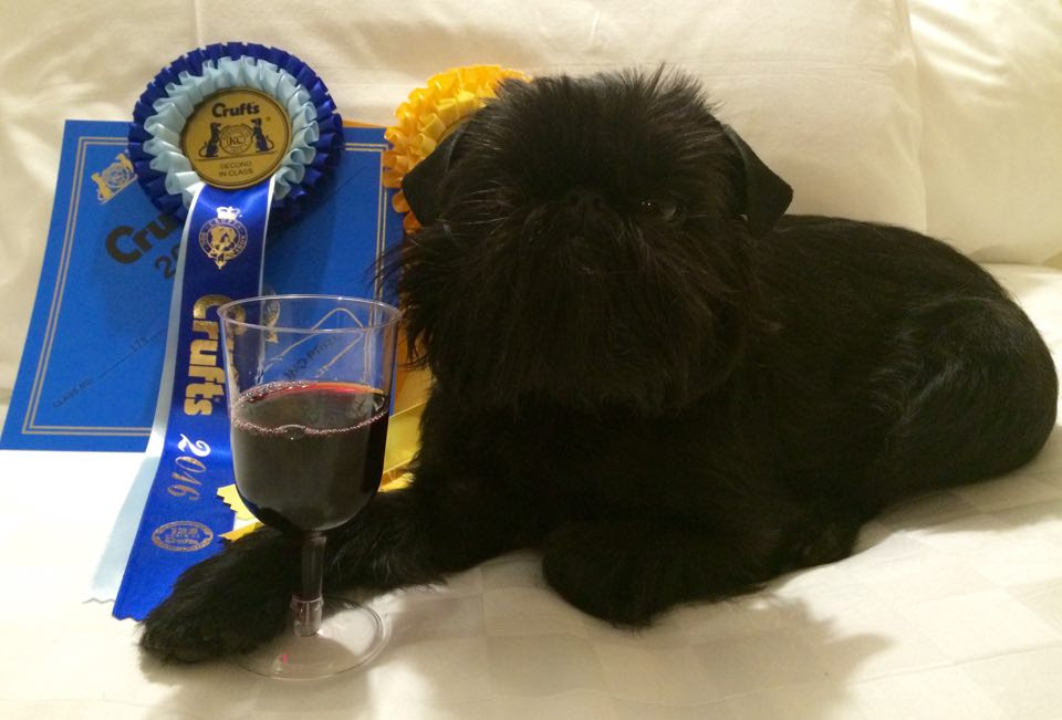Chippichawas miss Concorde Crufts 2016