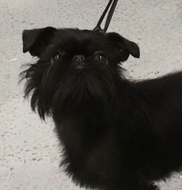 Griffon belge Admiravel Black Ascot