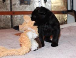 Admiravel puppy belge male