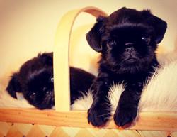 Mini & Eddie pups