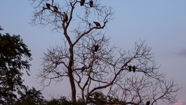 Vultures tree in Luangwa Park, Zambia, Africa