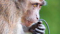 Cheeky monkey eating an electric cable on my balcony, in Boracay, Philippines