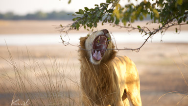 The Lion King Ginger waking up in Luangwa Park, Zambia, Africa