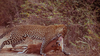 Hunting time in Luangwa Park, Zambia, Africa
