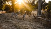 Zebras in Luangwa Park, Zambia, Africa