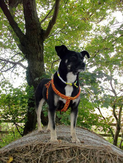 dog wearing orange paracord harness