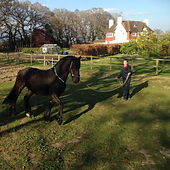 friesian horse being lunged in rope halter & rhythm beads