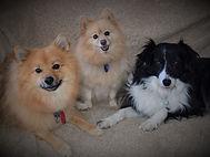three dogs on sofa