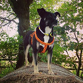 dog in orange paracord harness