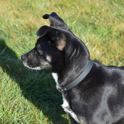 Black and white dog wearing biothane dog collar