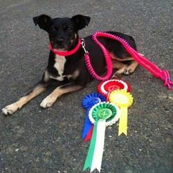 dog pink hi vis paracord show lead