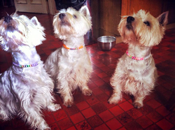 id beaded dog necklaces on westies