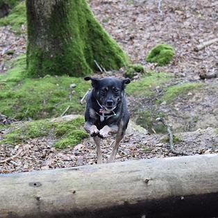 Dog jumping a log