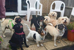 Group of dogs/pugs beaded id collar