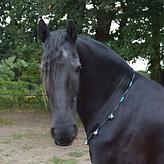 friesian horse wearing spirit rhythm beads