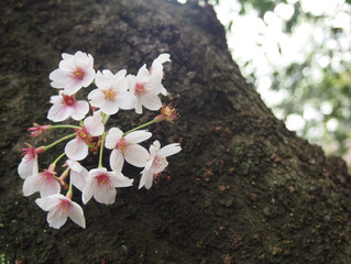 Sakura (Cherry Blossoms) 桜
