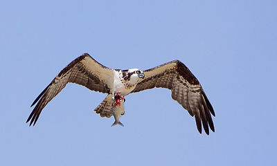 Chesapeake Bay Osprey on our boat cruise