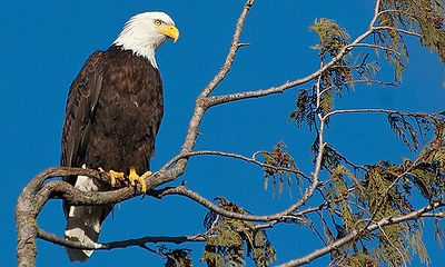 Bald Eagles along our M/V Bay Breeze water tour route