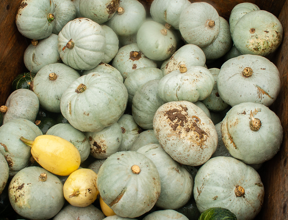 Blue/ grey pumpkins | Pumpkin Picking at Hewitt's Farm | Pumpkin Risotto | Vegan and Gluten Free Recipe | The Dopey Vegan